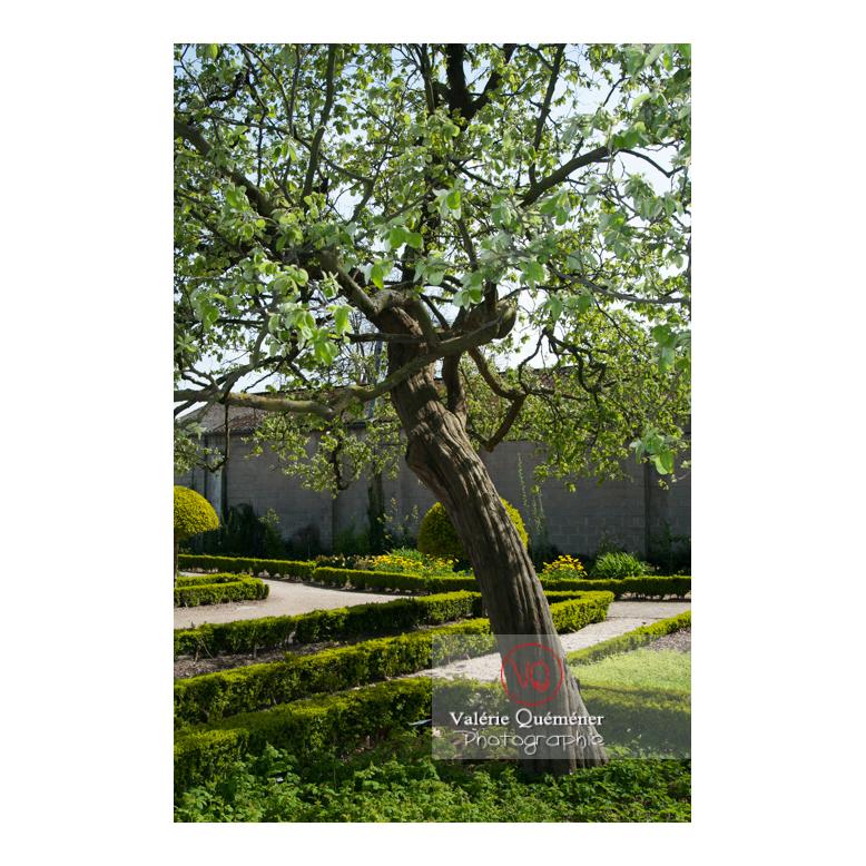 Cognassier au jardin des plantes d'Amiens / Somme / Hauts-de-France - Réf : VQFR80-0015 (Q2)