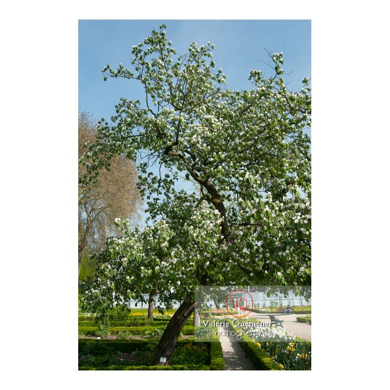 Cognassier en fleur au jardin des plantes d'Amiens / Somme / Hauts-de-France - Réf : VQFR80-0020 (Q2)