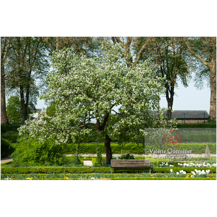 Cognassier en fleur au jardin des plantes d'Amiens / Somme / Hauts-de-France - Réf : VQFR80-0021 (Q2)