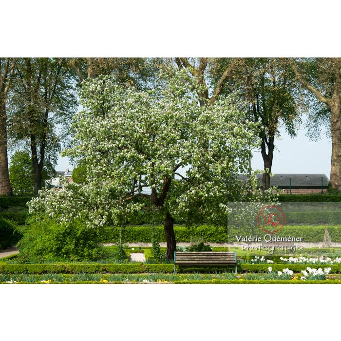Cognassier au jardin des plantes, Amiens / Somme / Hauts-de-France - Réf : VQFR80-0021 (Q2)