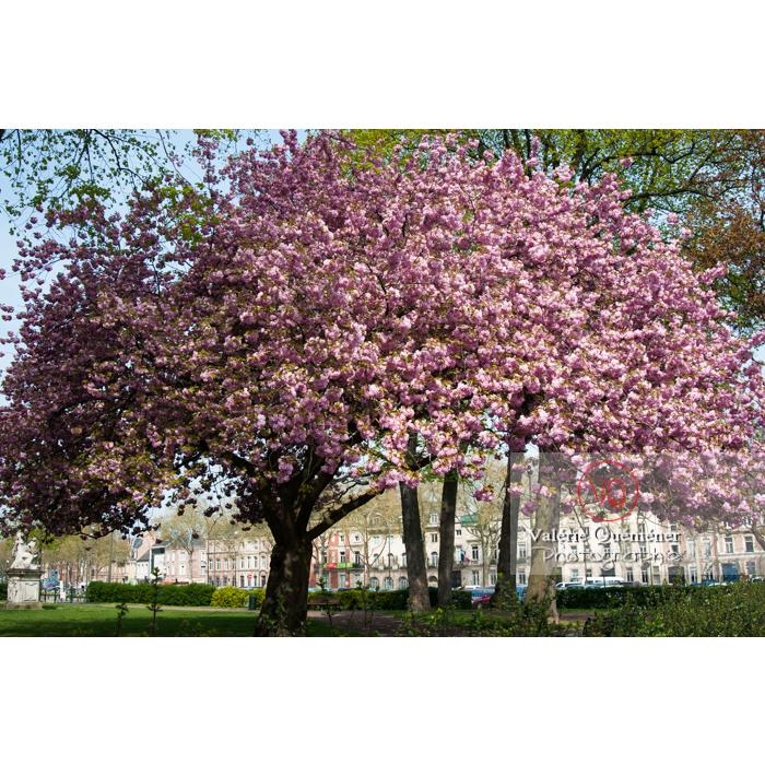 Cerisier décoratif en fleurs / Amiens / Somme / Hauts-de-France - Réf : VQFR80-0022 (Q2)