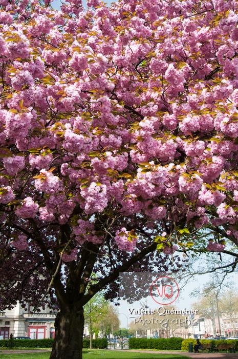 Cerisier en fleurs, Amiens - Réf : VQFR80-0023