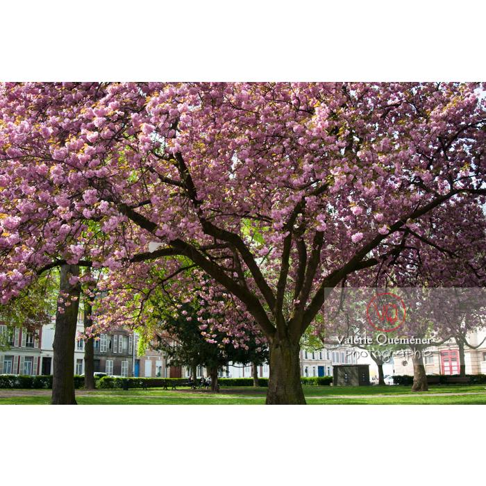 Cerisier décoratif en fleurs / Amiens / Somme / Hauts-de-France - Réf : VQFR80-0024 (Q2)