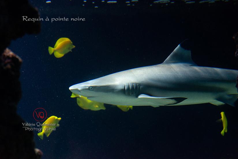 © Valérie Quéméner I Requin à pointe noire