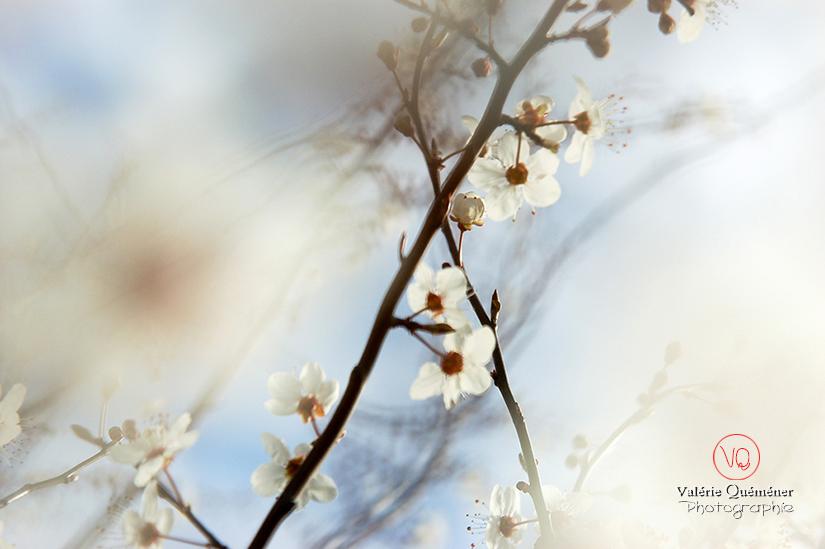 © Valérie Quéméner I Fleurs de prunus