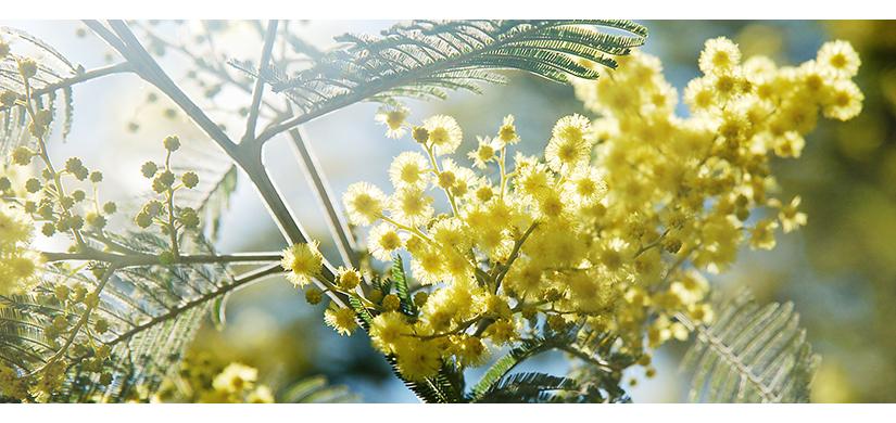 Contre-jour de mimosa | © Valérie Quéméner