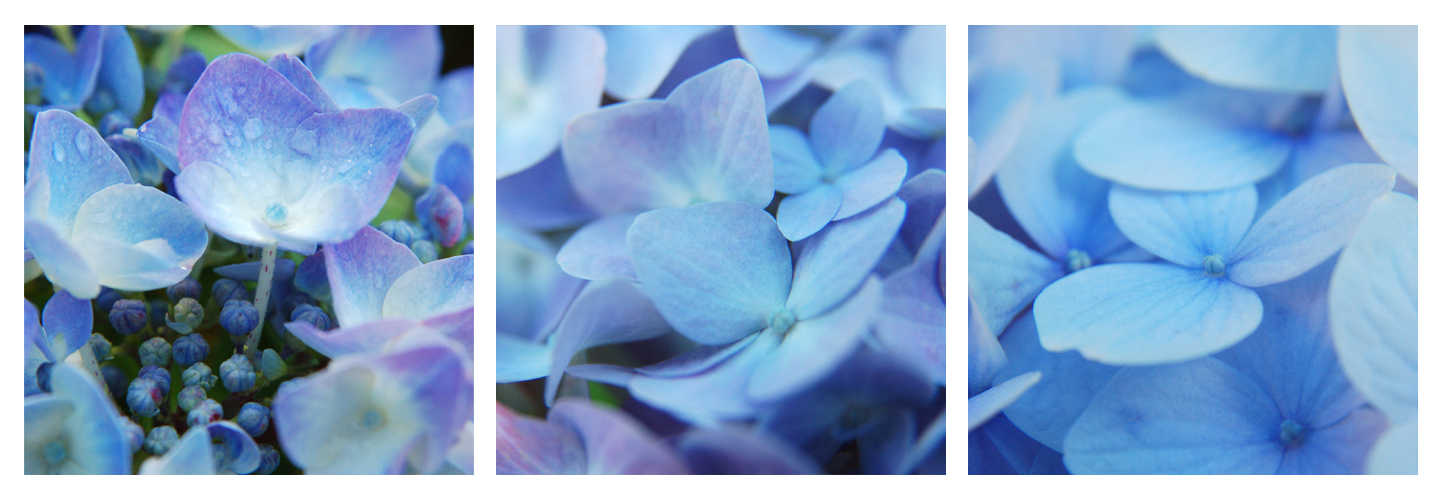 Triptyque 'Hortensias bleus'   © Valérie Quéméner